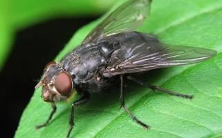 К чему снятся мухи в доме много сонник