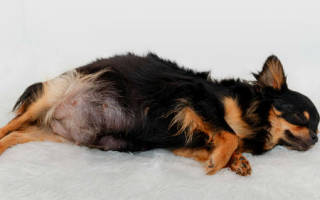 Беременная собака во сне сонник