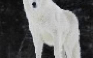 Белый волк во сне сонник