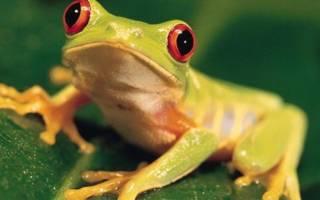 К чему снится жаба или лягушка женщине сонник