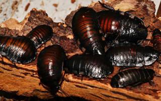 К чему снятся черные тараканы много сонник