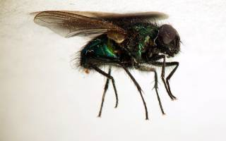 Сонник к чему снятся мухи