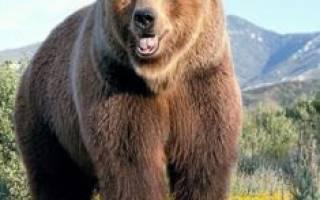 Медведь во сне женщине сонник