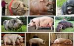 К чему снится большая свинья сонник