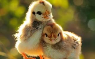 К чему снится много цыплят сонник