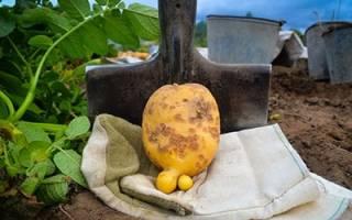 Сонник картошка большая