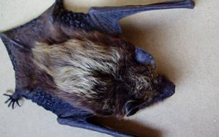 Сонник летучая мышь залетела в дом