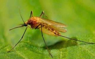 Сонник комары много