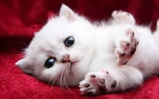 Видеть во сне белого котенка сонник