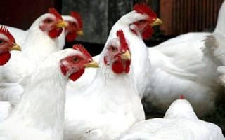 К чему снится белая курица сонник