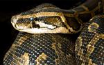 К чему снится большая змея сонник