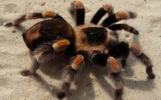К чему снится большой паук тарантул сонник