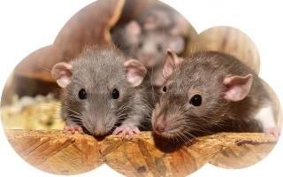 К чему снится маленькая крыса сонник