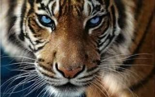 К чему снится тигр в доме сонник