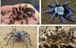 К чему снится тарантул черный сонник