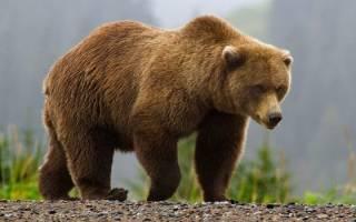 К чему снится медведь мужчине сонник