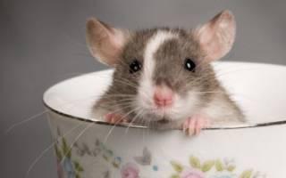 К чему снятся мыши крысы живые сонник