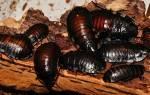 К чему снится черный таракан большой сонник