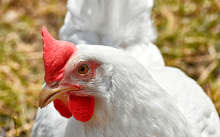 К чему сниться курица во сне женщине сонник