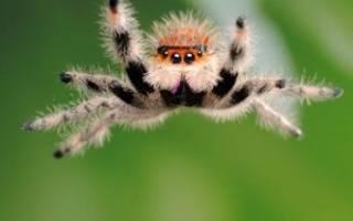 К чему снится паук большой черный мохнатый сонник