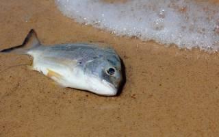 Мертвая рыба во сне для женщины сонник