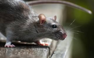 Во сне убить крысу что означает сонник