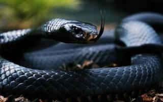 К чему снится черная змея сонник