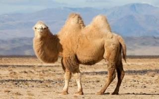 К чему снится верблюд девушке сонник