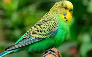 К чему снится большой попугай сонник