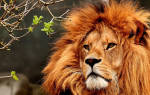 К чему снится лев сонник