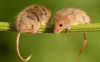 Сон про мышей к чему сонник