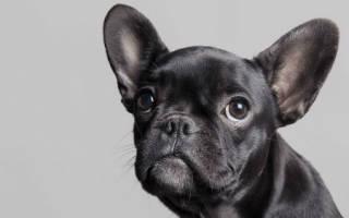 Сонник черный щенок на руках