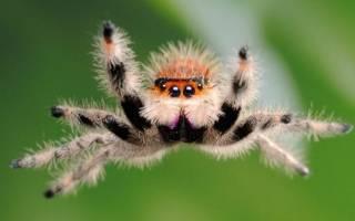 К чему снится паук птицеед сонник