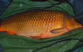 Видеть во сне рыбу живую сонник