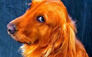 Видеть во сне большую рыжую собаку сонник