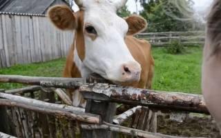Сонник белая корова