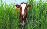 К чему снятся коровы во сне сонник
