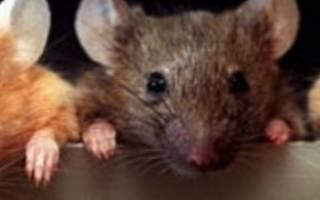 Сонник толкование снов к чему снится мыши