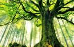 Сонник большое дерево