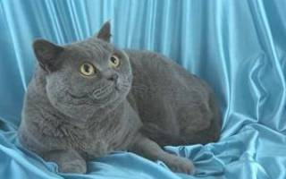 К чему снится кот серый большой сонник