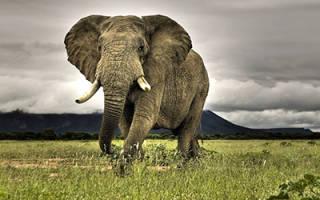 К чему снится слон сонник