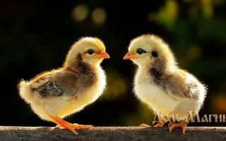 К чему снятся цыплята много маленьких сонник