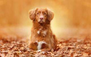 Видеть во сне рыжую собаку сонник