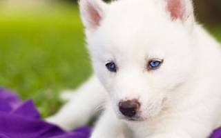 К чему снится белоснежная собака сонник