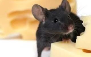 Мыши снятся к беременности сонник