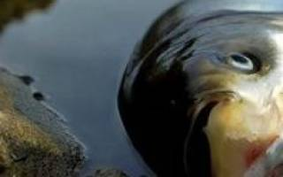 Сонник мертвая рыба в воде