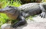 К чему снится крокодил девушке сонник