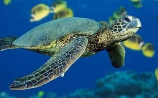 К чему снится черепаха в воде сонник