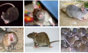 К чему снится крыса во сне женщине сонник