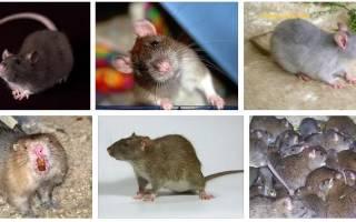 Видеть во сне крысу сонник